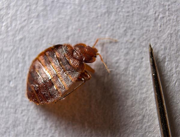 Многие люди даже и не подозревают, что клопов в квартире (как, впрочем, и других насекомых) можно эффективно уничтожить с помощью дымовых шашек.