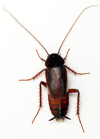 Черный таракана известен русскому народу значительно дольше, чем рыжий.