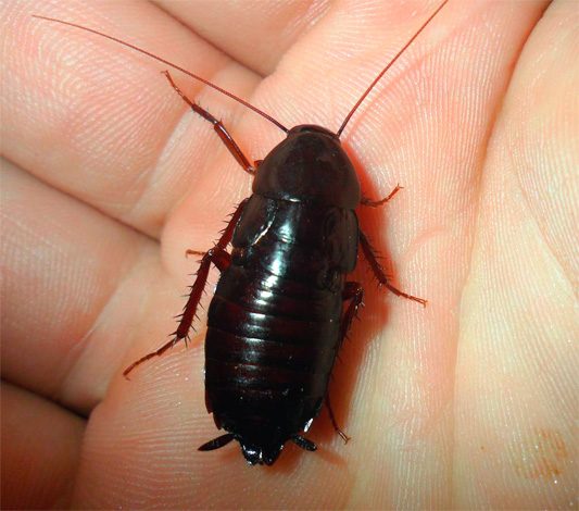 На фотографии показан черный таракан (Blatta orientalis)
