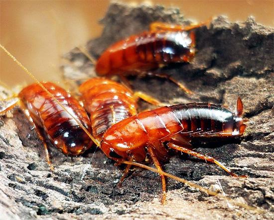Туркменского таракана можно встретить в дикой природе на территории нашей страны, на самом юге её.