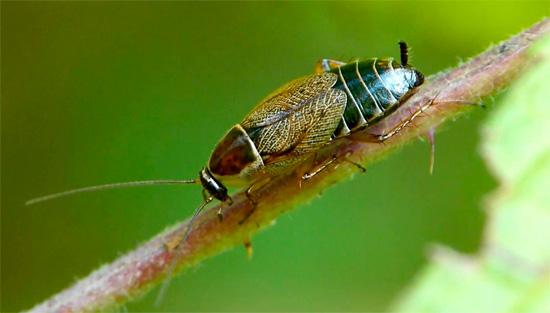 Лапландский таракан мал и незаметен, а в жилище человека практически никогда не проникает.