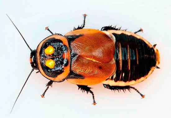 Яркие пятна на переднеспинке этого таракана очень похожи на фары автомобиля.