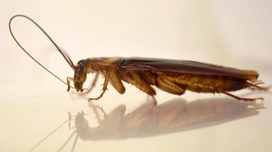 Усы в облике в целом невзрачного таракана - наиболее характерная черта его внешности.