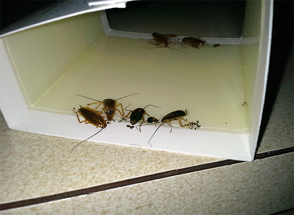 На фотографии показан пример клеевой ловушки с прилипшими тараканами.