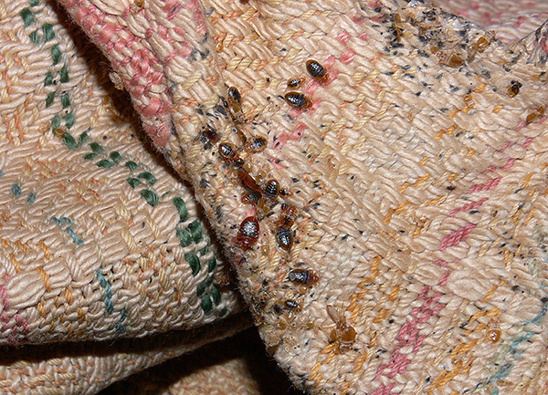 На фотографии показано гнездо постельных клопов в складках мягкой мебели.