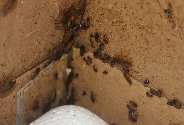 СЭС все же иногда проводит дезинсекцию в тяжелых случаях, когда тараканы присутствуют в большом количестве практически во всех квартирах дома.