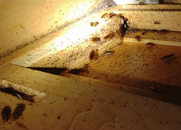 На фото показано гнездо тараканов в мебели