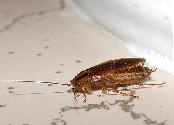Следует иметь в виду, что санобработка помещения от тараканов является комплексной процедурой и состоит из ряда этапов.