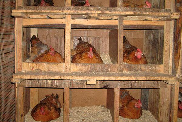 Нередко клопы массово размножаются в курятниках.