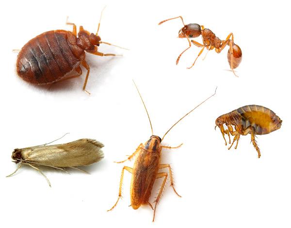 На практике средство Зондер эффективно уничтожает не только клопов, но и тараканов, блох, домашних муравьев и других насекомых.