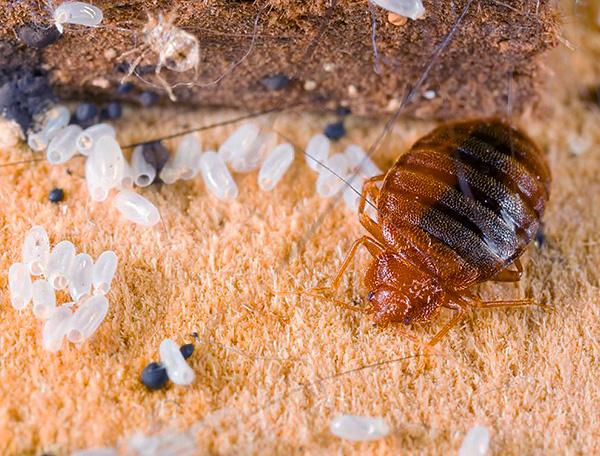 В состав препарата входят сразу три инсектицида, поэтому вероятность привыкания клопов к средству Зондер практически исключена.