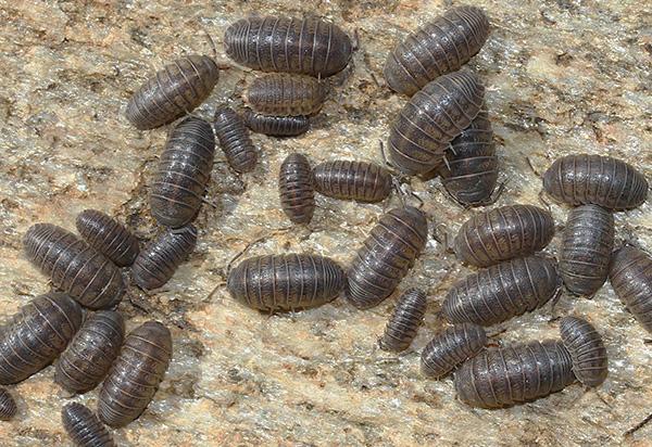 Как правило, очаг размножения мокриц находится на чердаке дома или в подвале.