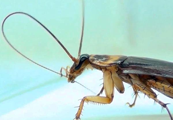 На фото показано, как таракан чистит свои усики - при наличии на них частиц отравы он обязательно эти частички проглотит.