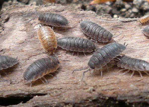 Знакомимся с интересными особенностями биологии мокриц и выясняем, являются ли эти существа насекомыми...