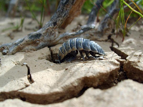 Некоторые виды мокриц приспособились к жизни в пустынях...
