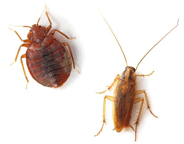 Экокиллер достаточно надежно работает даже в тех случаях, когда у популяции тараканов или постельных клопов имеется устойчивость к стандартным инсектицидам.