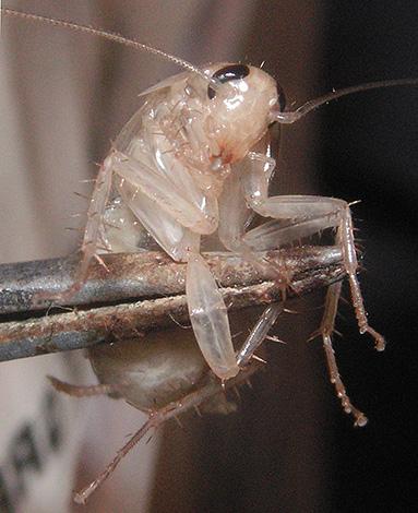 Ввиду отсутствия пигментов в кутикуле белые тараканы кажутся почти прозрачными.