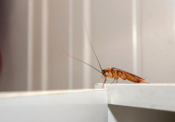 Белые, недавно полинявшие тараканы обычно несколько менее подвижны, чем их рыжие собратья.