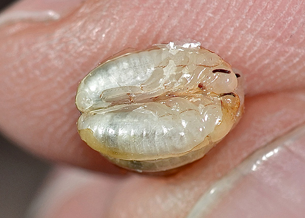 Личинки прусака в яйцах