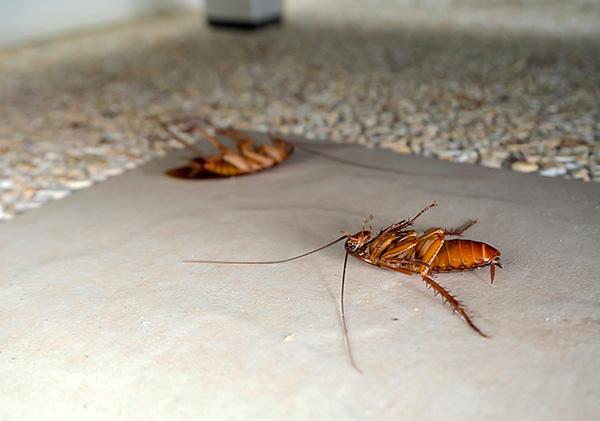 Инсектициды, входящие в состав Дихлофоса, оказывают на тараканов нервно-паралитическое действие (приводят к параличу и последующей гибели насекомого).