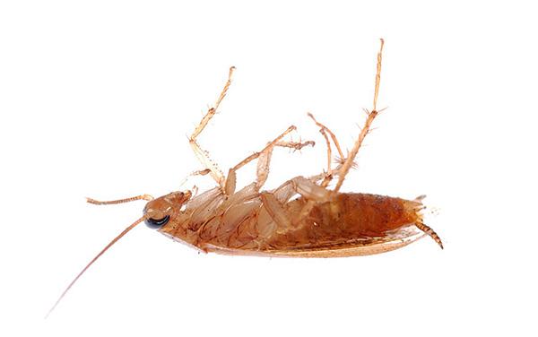 При правильном применении порошкообразные инсектициды действительно помогают эффективно уничтожать тараканов, однако какое средство выбрать?..