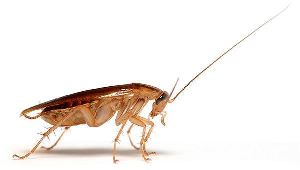 Для надежного истребления тараканов в доме важно соблюдать ряд правил...