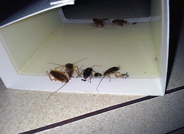 Липкие ловушки тоже неплохо помогают бороться с тараканами в помещении.