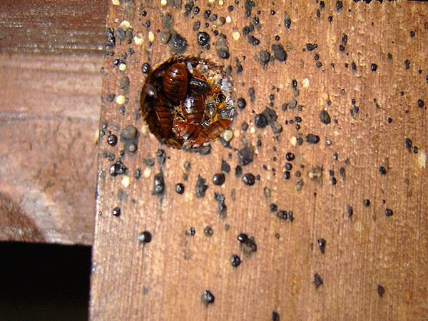 Гнездо клопов в мебели