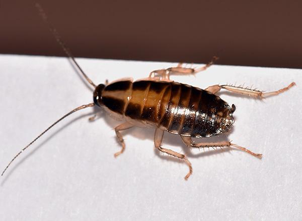 При обработке дустами основное внимание нужно уделить местам скопления и перемещения тараканов.