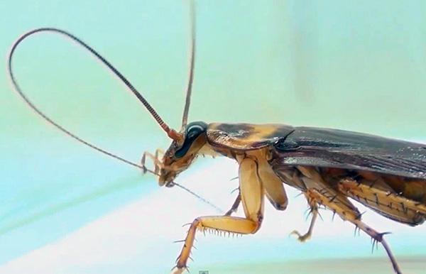 Когда таракан себя чистит, он проглатывает частицы дуста, прилипшие к усикам и лапкам.