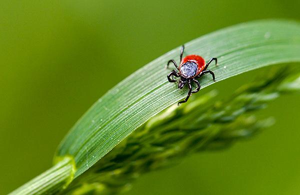 Знакомимся с интересными особенностями размножения лесных клещей...