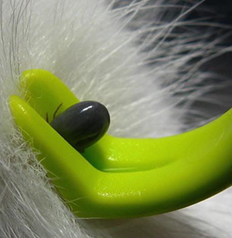 При должной сноровке впившегося паразита легко можно удалить с помощью пинцета.