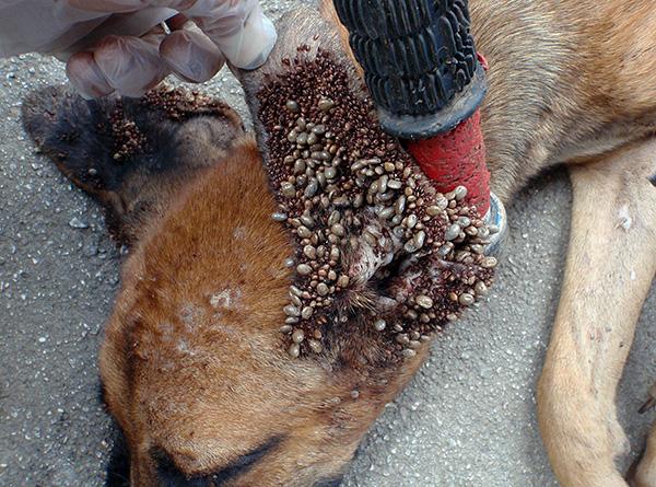 Излюбленное место прикрепления лесных клещей у собак - внутренняя поверхность ушных раковин.