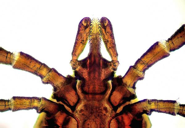 На фотографии заметны отдельные детали строения ротового аппарата иксодового клеща.