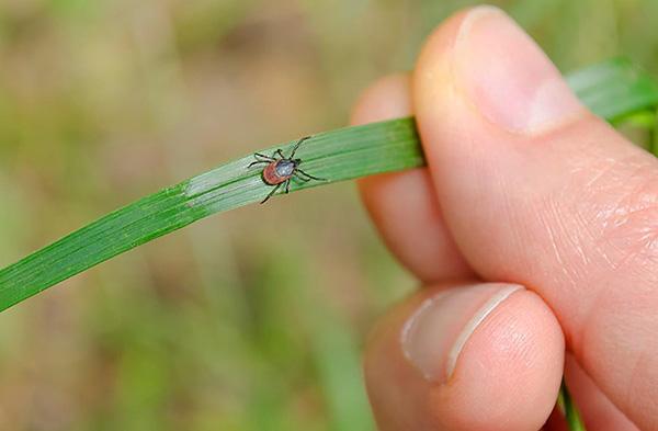 При наличии соответствующих раздражителей паразит способен активно перемещаться по направлению к потенциальному источнику пищи.