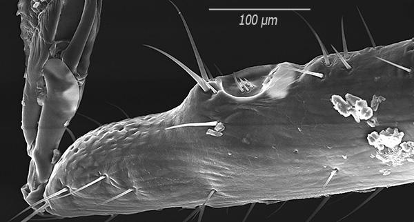 А так шипы выглядят при большом увеличении (снимок получен с помощью сканирующего электронного микроскопа).