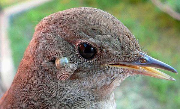 Клещ присосался к птице