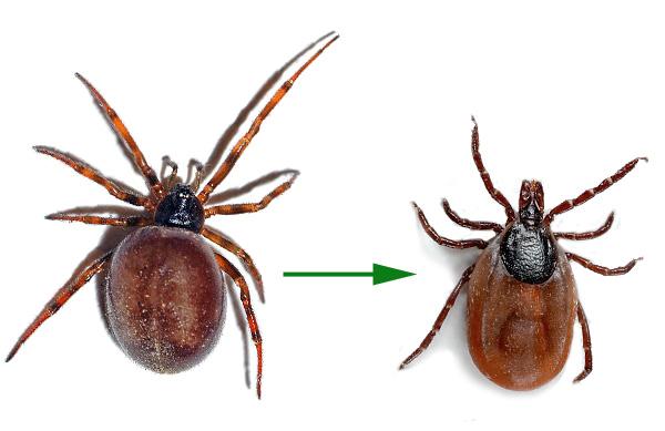 Считается, что клещи произошли от пауков