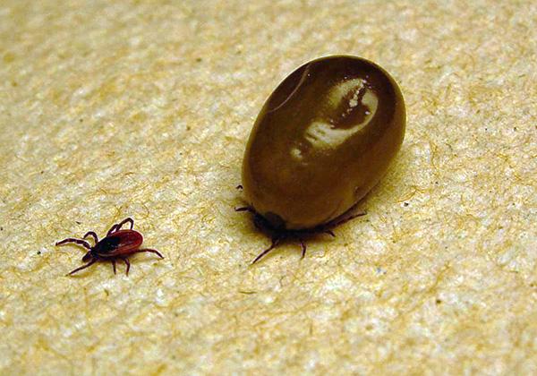 При насыщении кровью тело самки клеща многократно увеличивается в размерах.