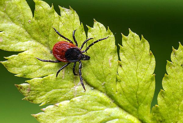 Во время поведенческой диапаузы агрессивность паразита существенно снижается - уменьшается и риск стать его жертвой.