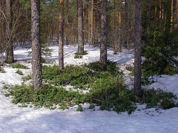 При таянии снега и появлении в лесу первых проталин клещи уже начинают свою активность.