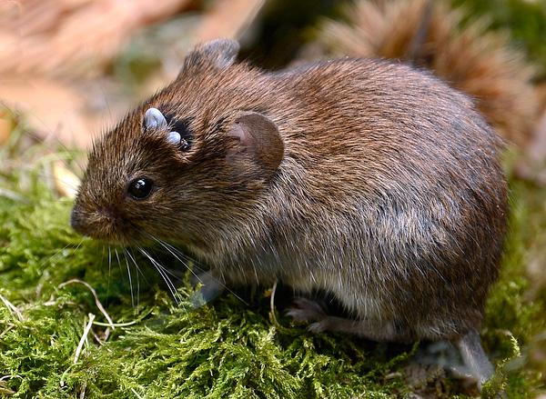 Важным фактором поддержания очага боррелиоза и клещевого энцефалита являются популяции мелких грызунов на территории.