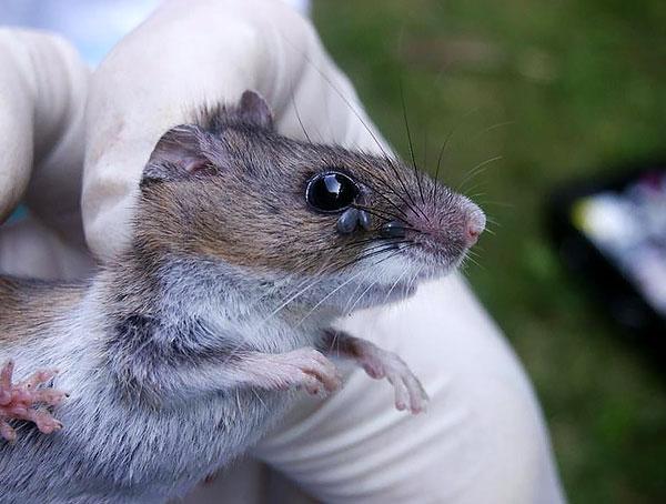 Как правило, на грызунах и мелких насекомоядных паразитируют личинки и нимфы иксодид, а на крупных животных - взрослые особи.