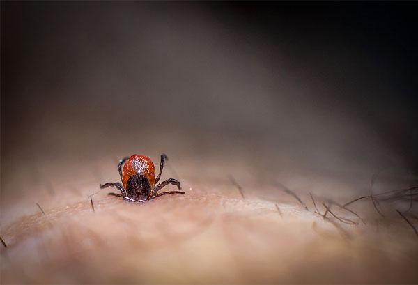 В момент кровососания со слюной клеща в ранку могут проникать возбудители смертельно опасных заболеваний, если паразит является зараженным.