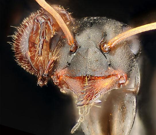 Клещ, обосновавшийся на голове у муравья и отбирающий у хозяина кусочки пищи.