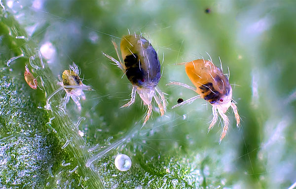 Все стадии развития паутинного клеща на одной фотографии - яйцо (снизу), затем слева направо: личинка, нимфа, две взрослых особи.