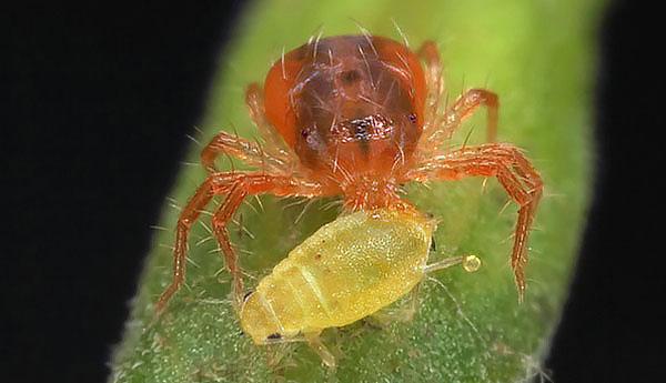 Помимо паутинных клещей фитосейулюсы могут поедать тлю, личинок кокцид и других вредителей сельского хозяйства.