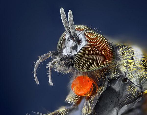Личинка краснотелки на теле хозяина - мухи-цветочницы.