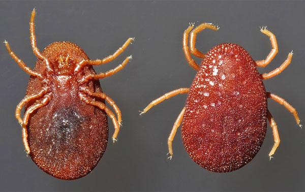 Эти паразиты кусают людей относительно редко, но их укусы очень болезненны.