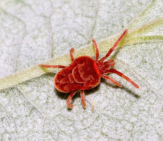 Клещей-краснотелок можно в больших количествах встретить летом под камнями в любом парке.